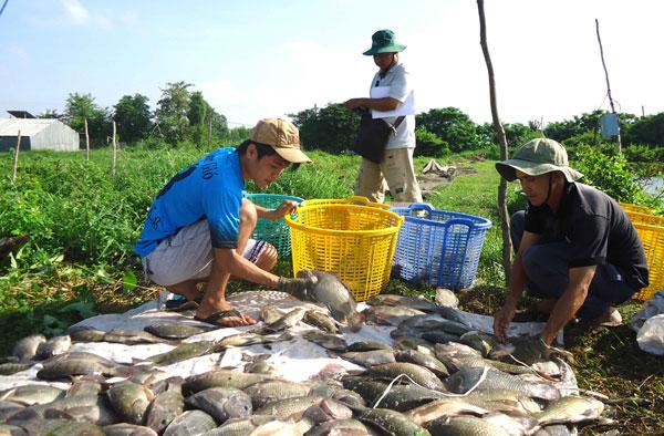 nuôi cá rô phi